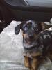 Chiweenie, 5 months, Dapple
