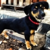 Chiweenie, 2 yrs old, black and tan