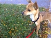 Chiweenie, less than 1 year, Red Fawn