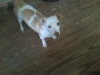 Chiweenie, 1 1/2 years, White and Tan