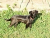 Chiweenie, 3 years, Sable