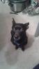 Chiweenie, 5, Black