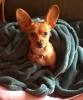 Chiweenie, 4 1/2 months, Tan