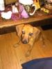 Chiweenie, 4 months, tan