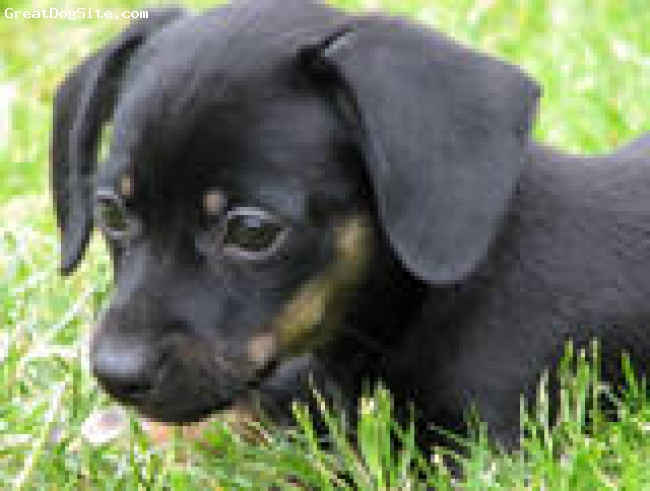 Black Chiweenie Puppies
