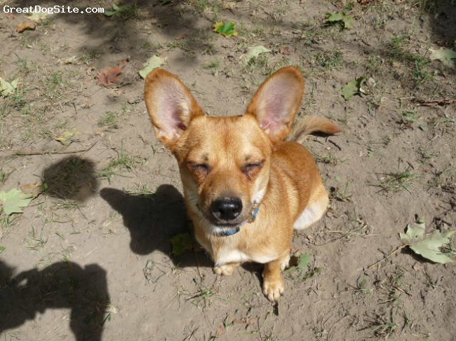 Chiweenie, 1 year, fawn, Tod, a rescued Chiweenie