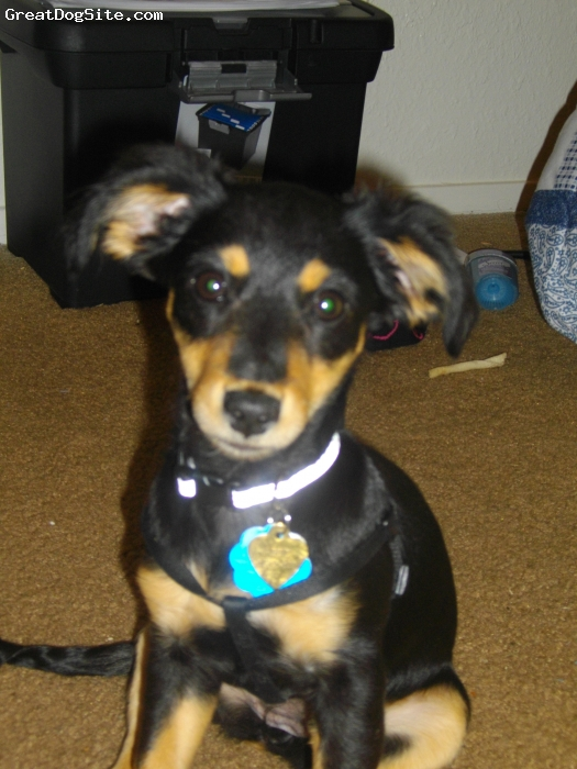 Chiweenie, 5 months, Black and Tan, This is Little Abbie as of Today 12/05/09