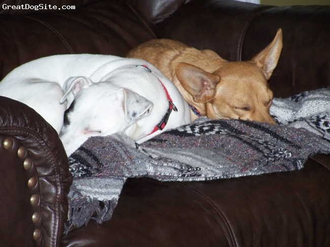 Chiweenie, 1, Fawn, Chevy gets along well with Phoebe, our six year-old Jack Russell Terrier rescued from a puppy mill . . .