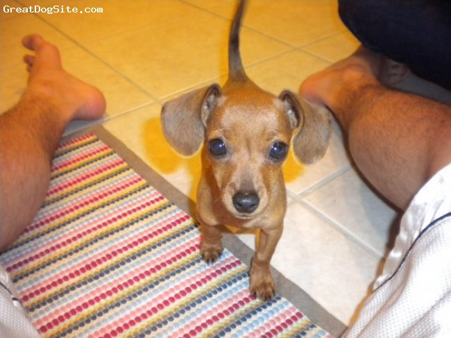 Chiweenie, 4 Months, Brown, Jaja is very loving! She likes to hide under blankets and cuddle!! :)