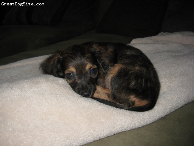 Black and Tan Chiweenie