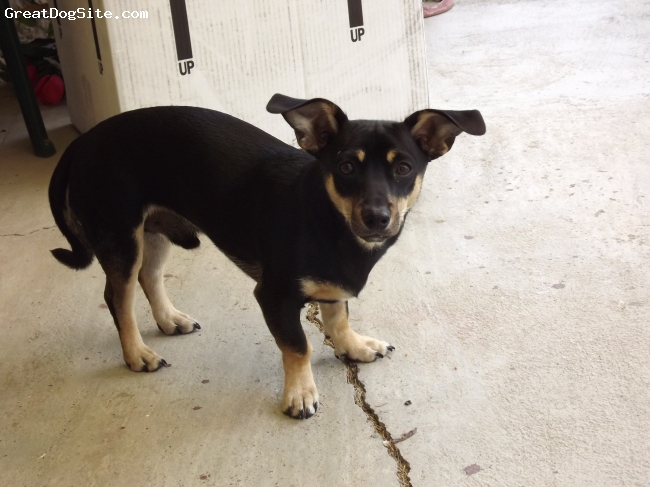 Chiweenie, 8 months, Black, Brown and White., Sweet and very Active