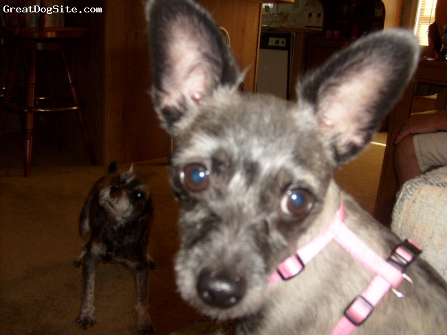 7lb Chizer (Chihuahua/Mini Schnauzer Mix) Although Brandi is a Mix ...