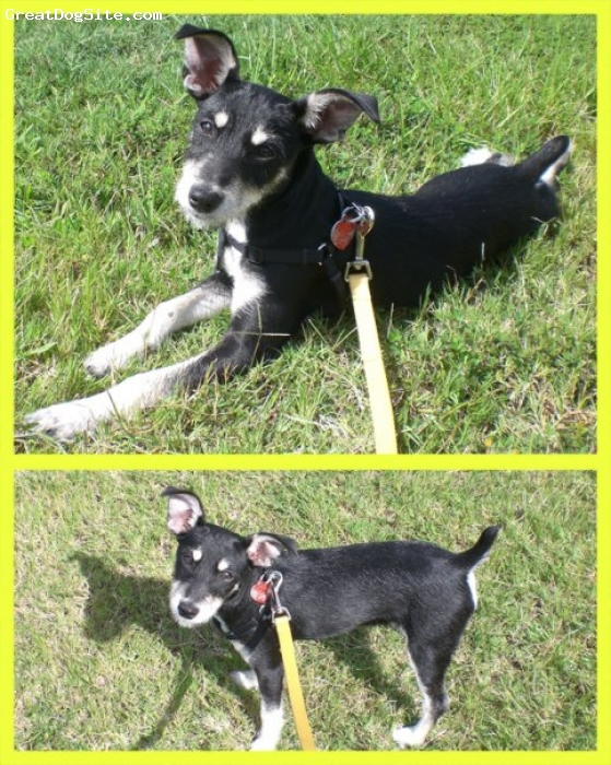 Chizer, 2, black/white/pepper, as a puppy - her ears were floppy then, but now they stay erect all the time.