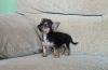 Chorkie, 8 weeks, Black