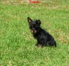 Chorkie, 3 months, Black