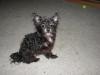 Chorkie, 7 years, Black