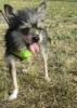 Chorkie, 1 year, Gray