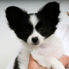 Chorkie, 12 weeks, white and black