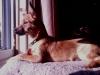 Chorkie, 8 months, fawn