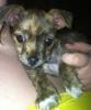 Chorkie, 8 weeks, Brendell