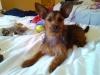 Chorkie, 18 months, brown