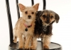 Chorkie, 1 year and 18 months, Lola is blond, Spike is black & tan
