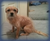 Chorkie, 4years, tan, light brown