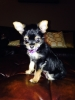 Chorkie, 7 weeks, Black