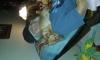 Chorkie, 17 months, fawn