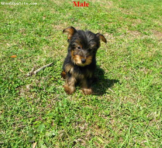 Chorkie, 3 months, Black, grass