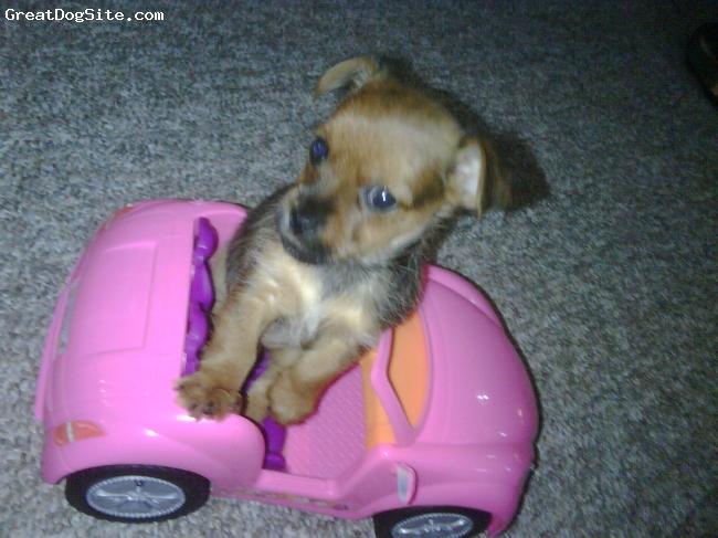 Chorkie, 8wks, blk n brwn, cute lil puppy