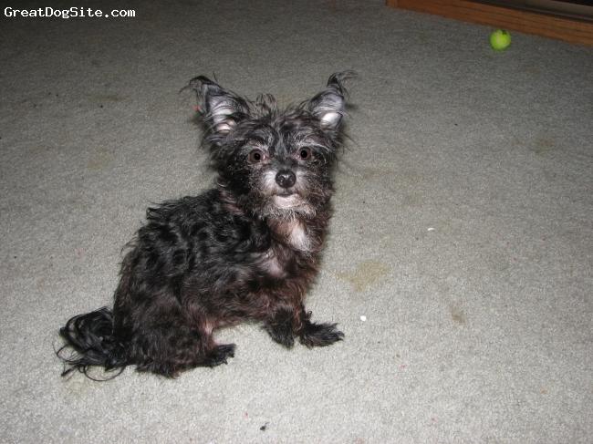 Chorkie, 7 years, Black, love of my life!!