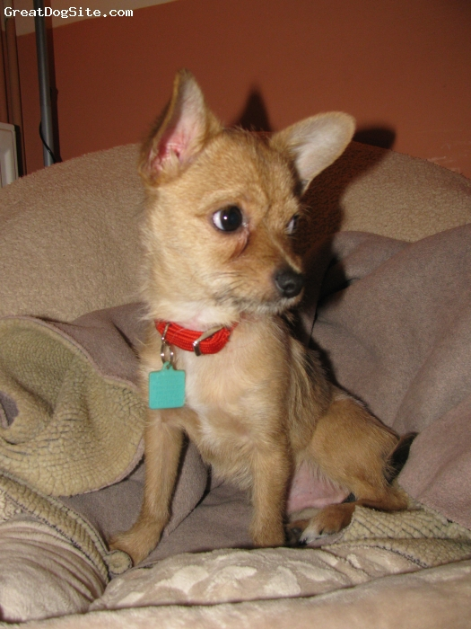 Chorkie, 8 months, golden, My fun loving and energetic Chorkie who is such a treasure to have