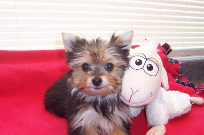 Chorkie, 4 1/2 MONTHS, bLACK, playful happy puppy