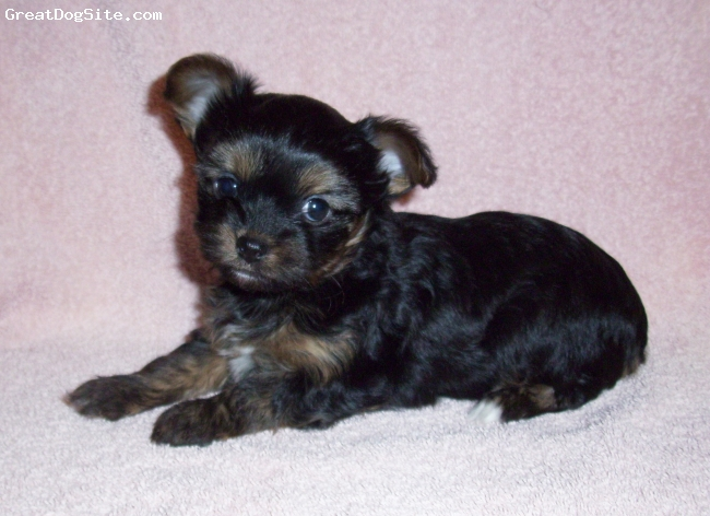 Chorkie, 6 weeks old, Blk/tan, Inquisitive, sweet nature and just a little snggle bug!