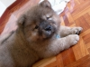 Chow Chow, 1.5, Red