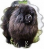 Chow Chow, 4, black