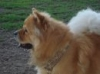 Chow Chow, 5 years, Red/Fawn