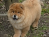 Chow Chow, 3 months, lt. red