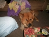 Chow Chow, 2, BROWN