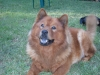 Chow Chow, 7, BROWN
