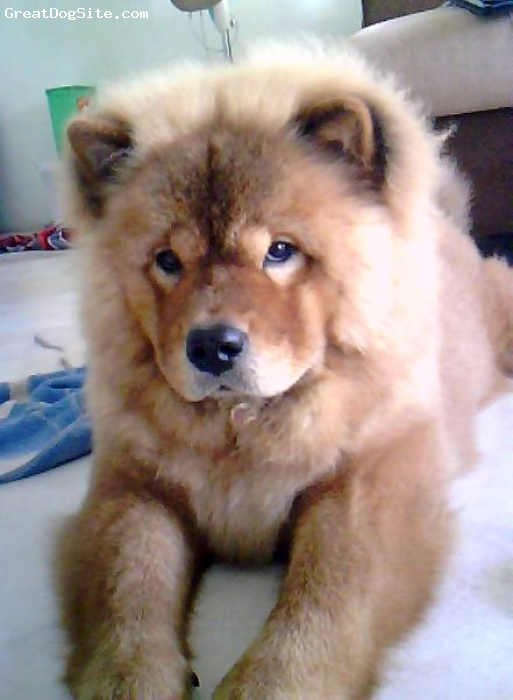 Chow Chow, 8 months, Red, Daisy 8 mths