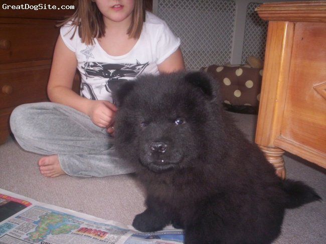 Chow Chow, 12 weeks, black, Georgeous black puppy