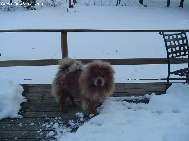 Chow Chow, 3 yrs old, Cinnamon, She loves the snow!