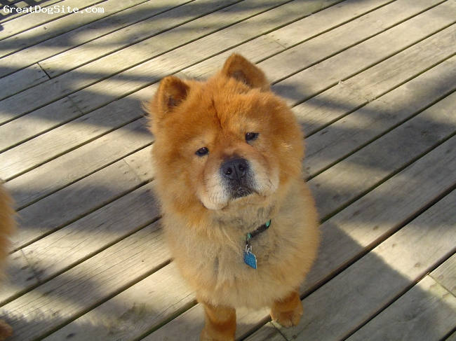 Chow Chow, 3 yrs old, Cinnamon, We just rescued him in 3/09. He's a very friendly boy who loves to give kisses with his little black tongue. He runs faster than my other Chow Chow who can catch rabbits and squirrels. He definitely needs doggie school but he's a lover not a fighter.