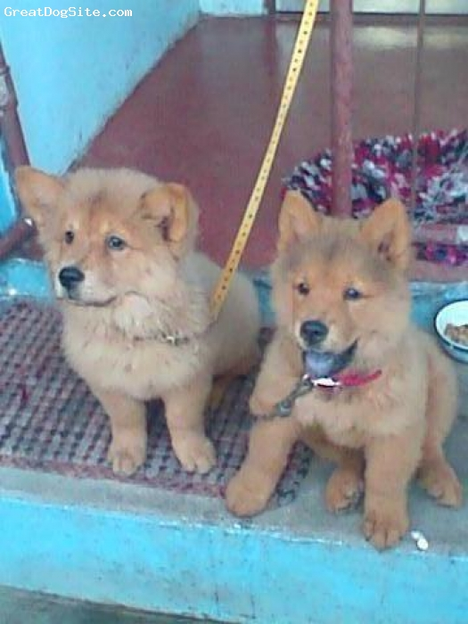 Chow Chow, 3 months old, red, friendly chow