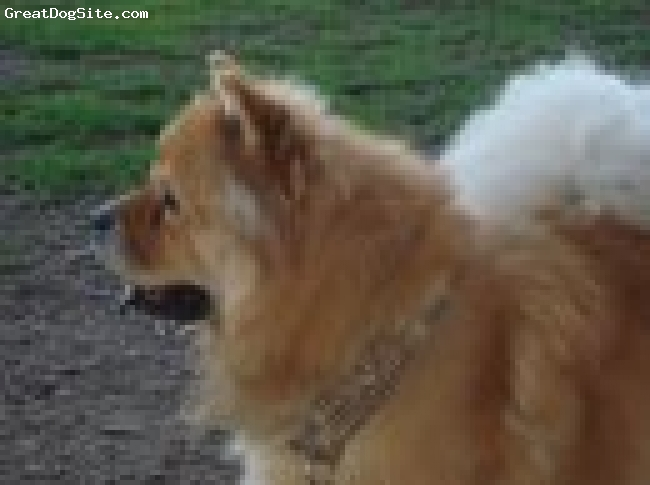Chow Chow, 5 Years, Fawn/Red, A very mellow female Chow.  Can be standoffish and not easy to train.  Gets along well with other dogs and children.  On her terms.  Definitely a one person dog.  Her best friend is a 10 lb Shih Tzu that lives with us.