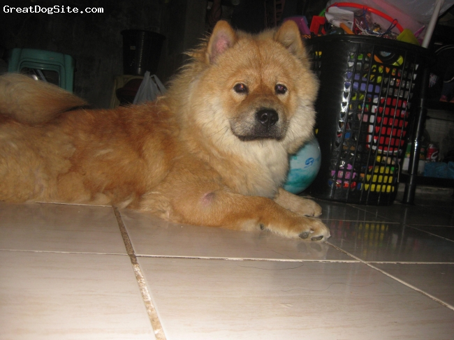 Chow Chow, 4, brown, chowchow