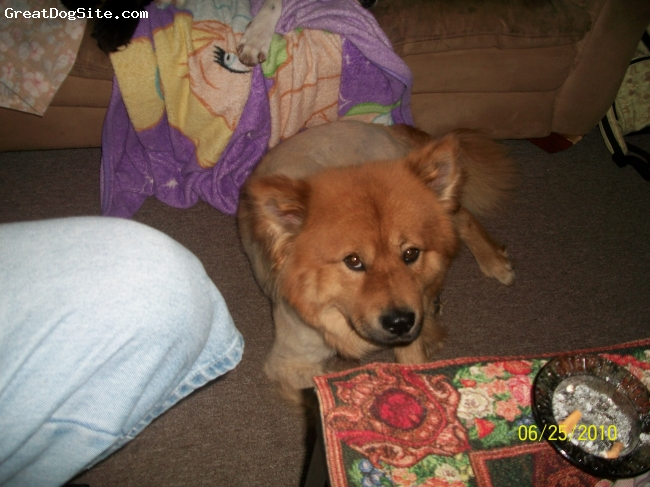 Chow Chow, 2, BROWN, hes chow/german shephard