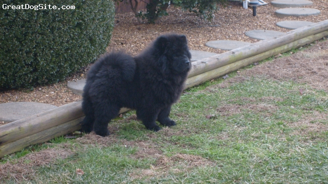 Chow Chow, 14 wks, Black, He's  stocky, struts his self  like he's the best thing  ever,and to us he is.